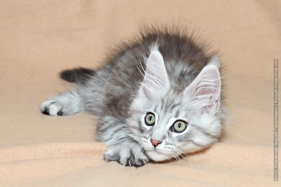 питомник котенок Мейн-кун