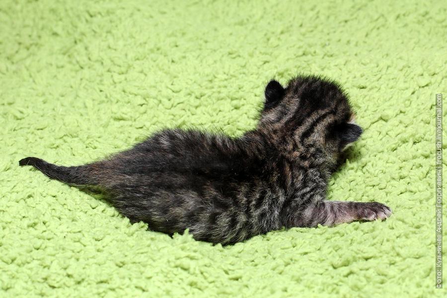 новорожденные котята Бомбеи нетрадиционных окрасов продажа