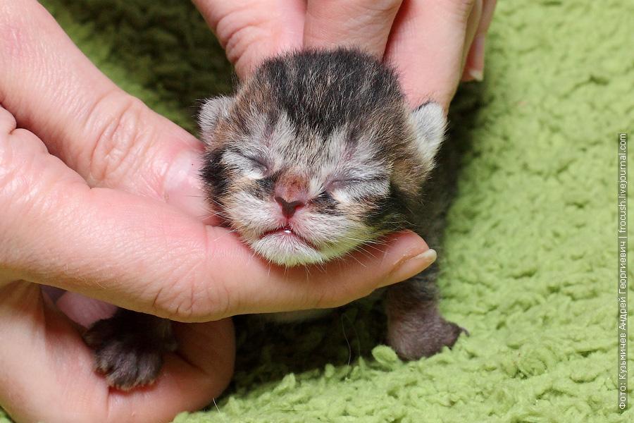 новорожденные котята Бомбеи нетрадиционных окрасов в Москве
