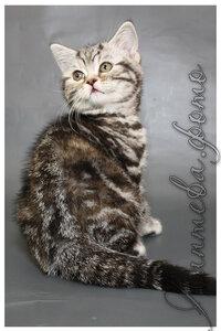 черная черепаховая серебристая мраморная кошка британская короткошерстная