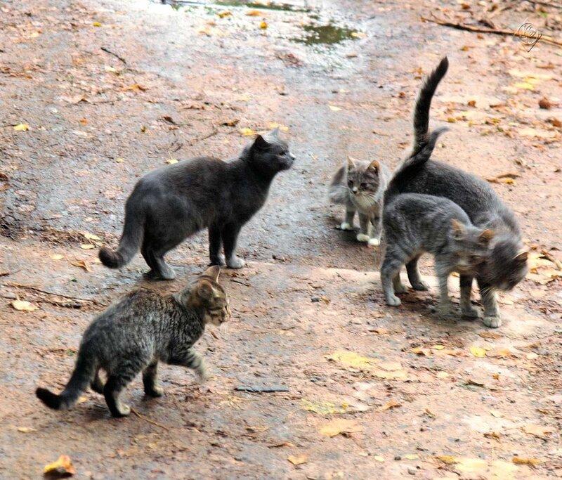 Кошачья пятерка