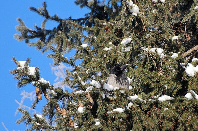 IMG_1400 ворона сидит на ветке ели