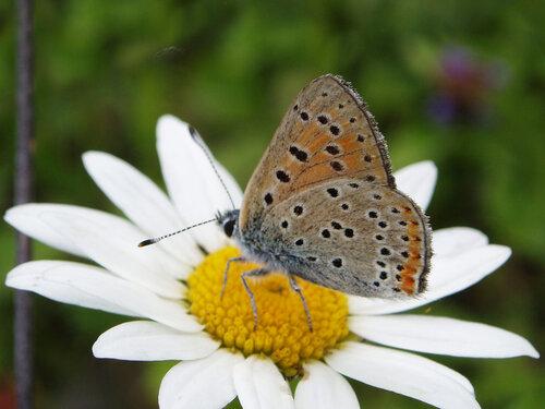 Альбом:  Мир под ногами/  Чешуекрылые - Lepidoptera / Lycaenidae - Голубянки Автор фото: Владимир Брюхов