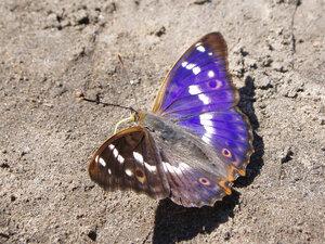 s:дневные бабочки,c:голубые,c:синие