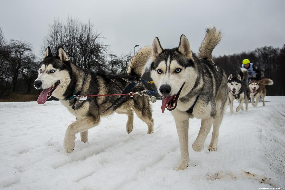 Завіруха, Завіруха, ездовой спорт, собаки, photo, фото