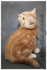 красный серебристый мраморный британский короткошерстный кот