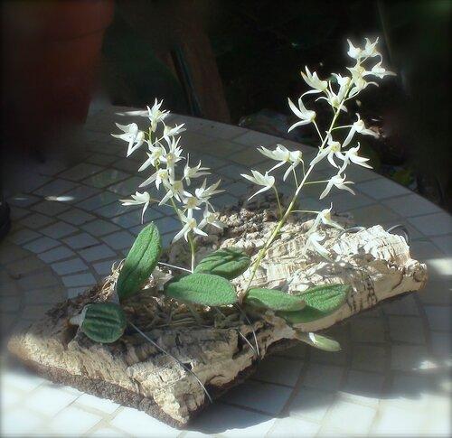 Dendrobium linguiforme var. nugentii 'Howard'