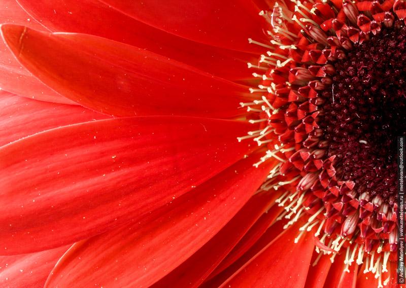 центральная часть цветка гербера крупно