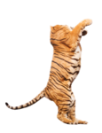 тигры       2-тело.png