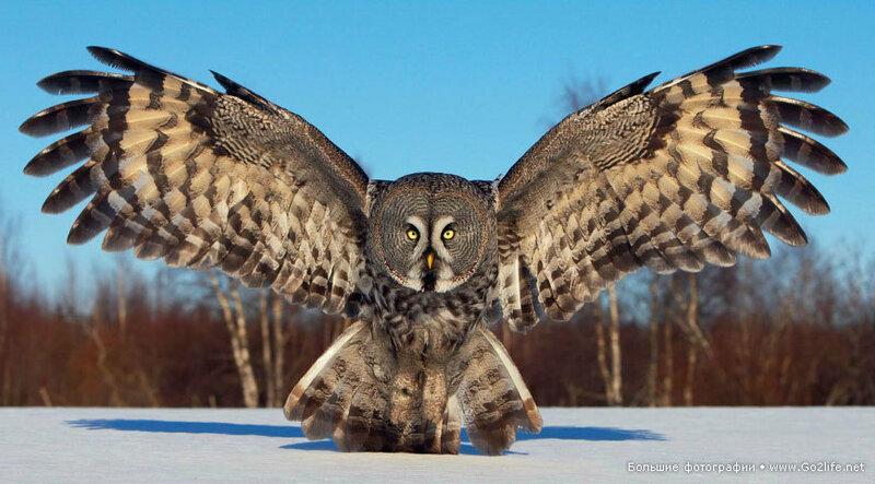 Финские совы
