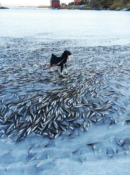 В Норвегии замерзли тонны сельди (2 фото)