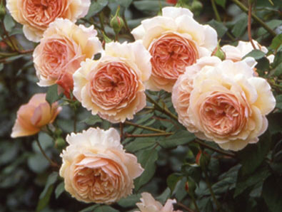 Английская роза, фото