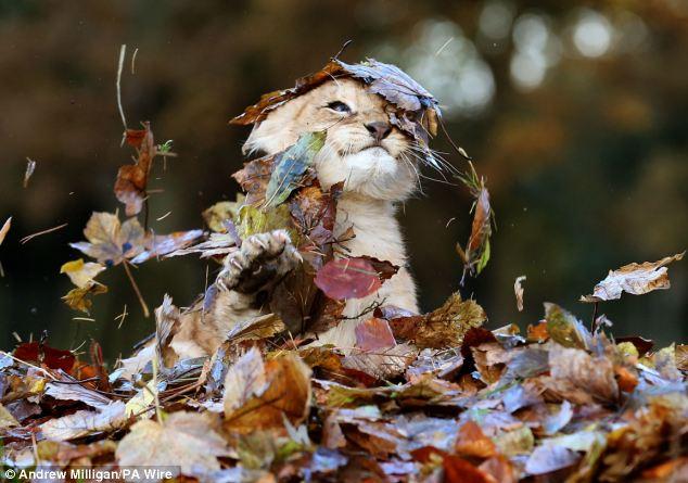 Львица Карис из  Blair Drummond Safari Park. 3 месяца. 3 фотосета