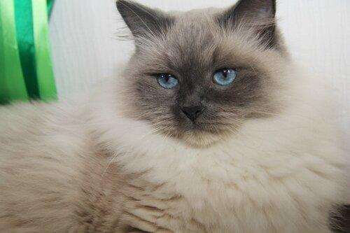 Фотография Сибирской кошки