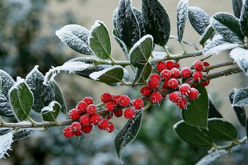 Ягоды в белом снегу