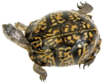 Черепаха