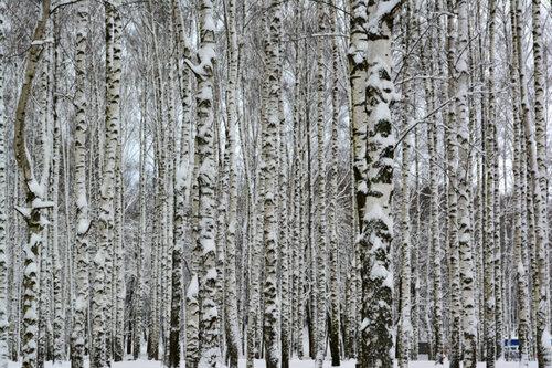 снег роща