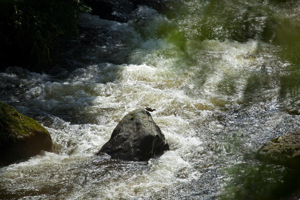 Андская утка