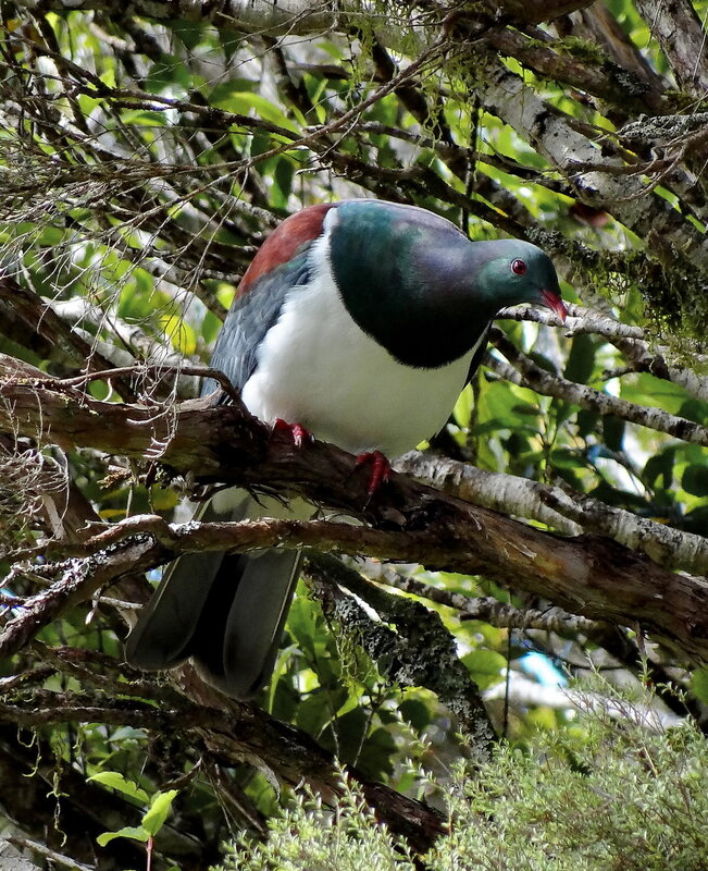 Знаменитый новозеландский голубь.