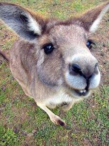 кенгуру