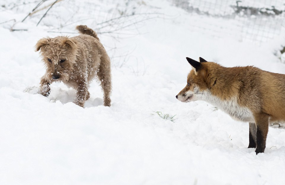 Трогательная дружба лисы и собаки