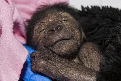У малыша обезьяны, которой провели кесарево сечение, началась пневмония
