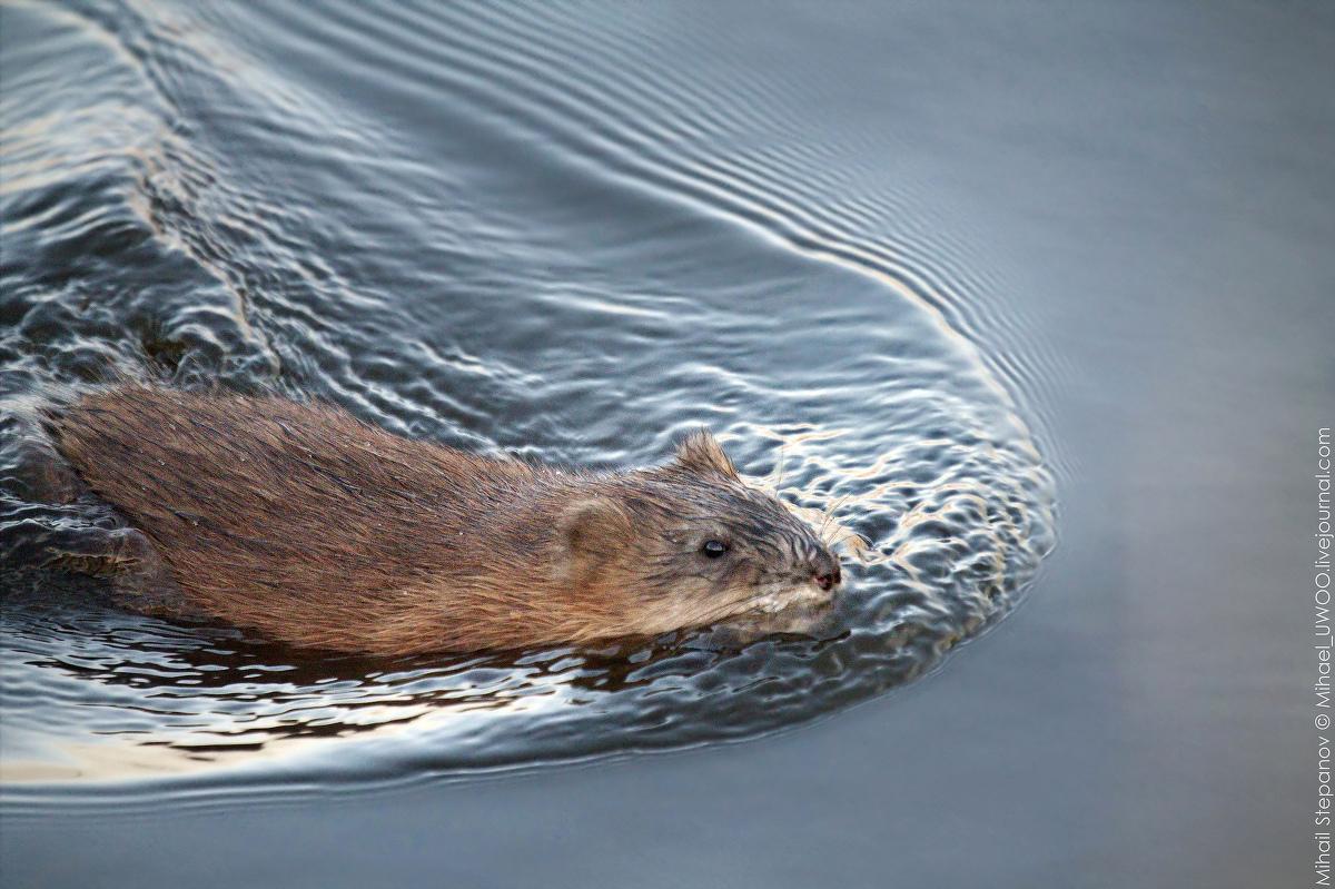 срезы картинки ондатры речной фора-банк