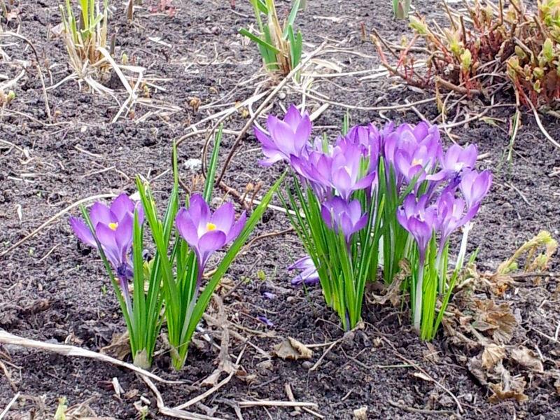 Москва. Весна. Цветут крокусы
