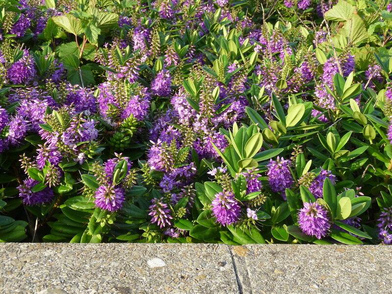 Оркнейские цветики