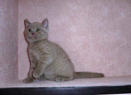 Британские котята из питомника Camelot Castle 0_e63b0_6323b504_L