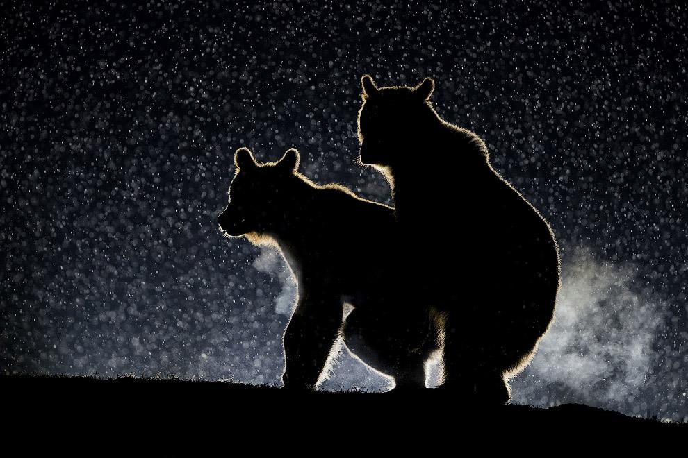 7. Три тенора. (Фото Roie Galitz | The Comedy Wildlife Photography Awards):