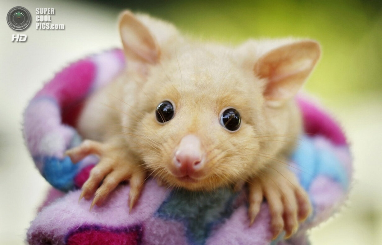 adorable golden brushtail possum - HD 1200×772