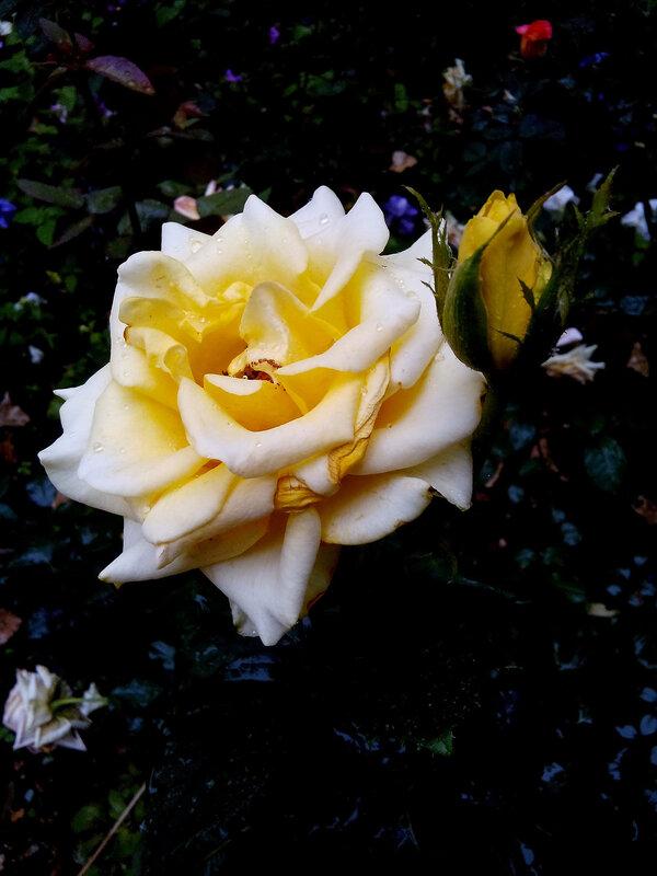 Роза-12.jpg