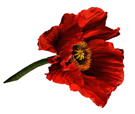 фото на прозрачной основе цветы маки приготовлением горохового супа