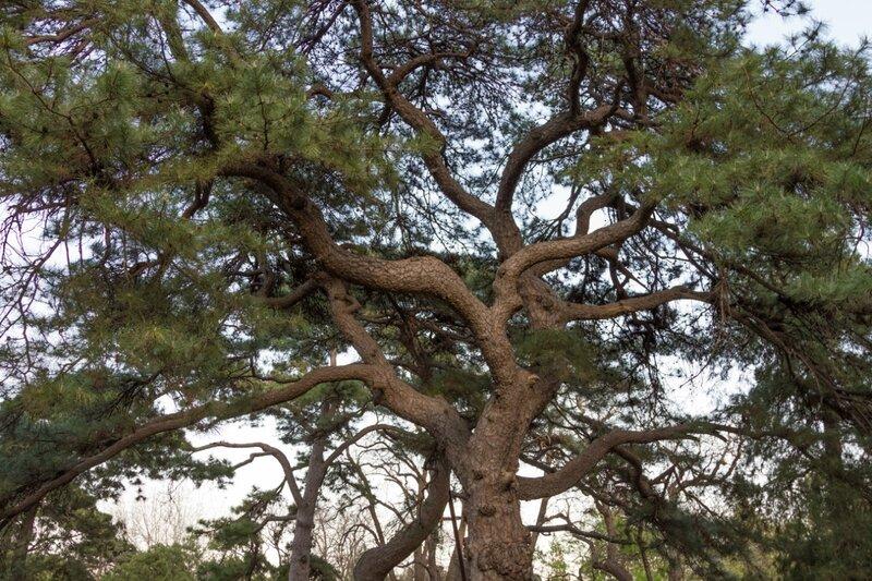 Сосна, парк Сяншань, Пекин