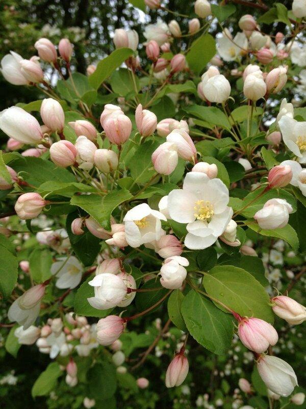 .яблоня зацвела в Мурманске