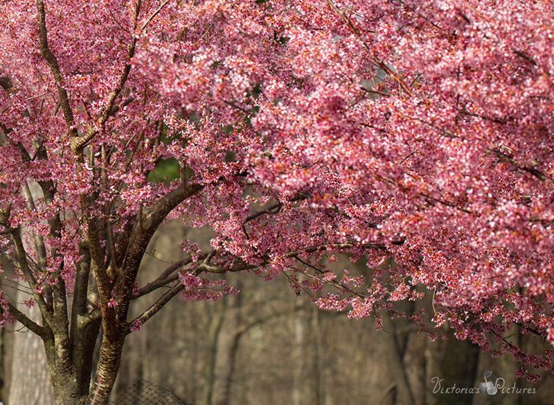Весна цветущая_71A6093_crop-Viktoria-Mullin