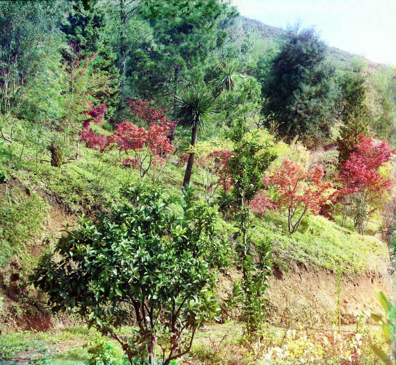 Окрестности Батума. Зеленый мыс. Группа японских клёнов. На первом плане апельсиновые деревья