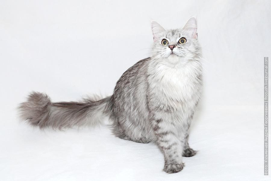 производитель кошка Мейн-кун из питомника