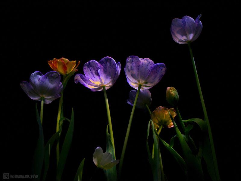 Как сажать и выращивать тюльпаны в домашних условиях
