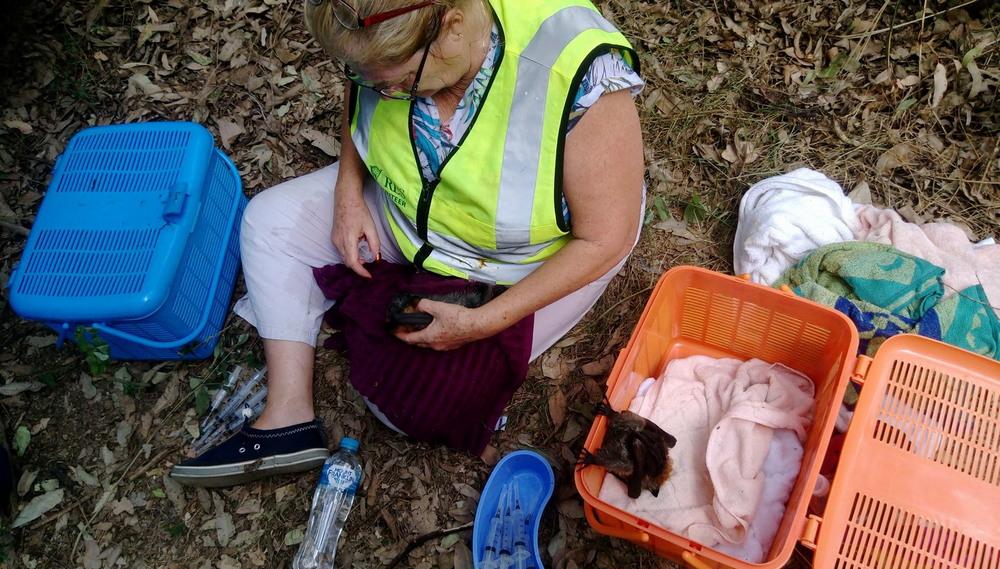 Сотни летучих лисиц погибли от аномальной жары в Австралии