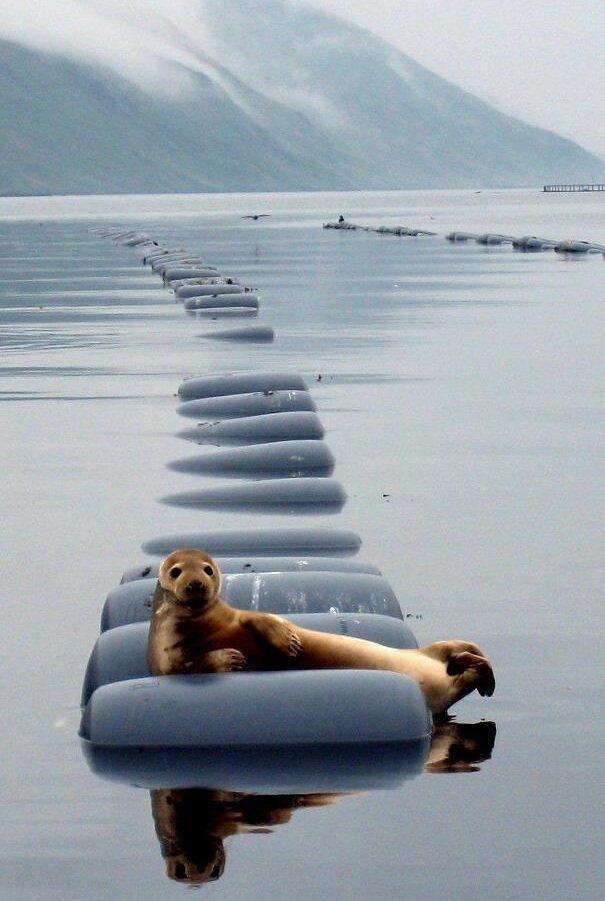 Самый красивый тюлень в мире