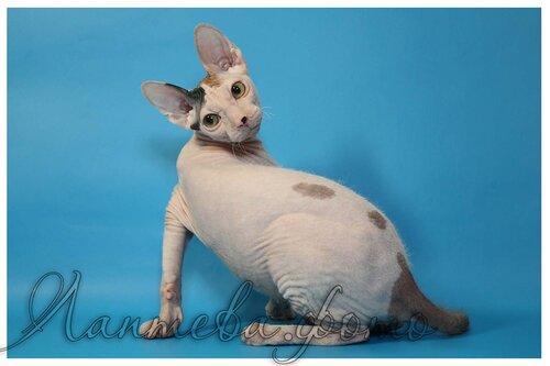 Лаптева-фото - Фотографии животных для питомников и заводчиков 0_fa340_cdda93ef_L