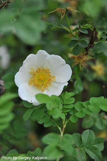 Rosa spinosissima (2).JPG