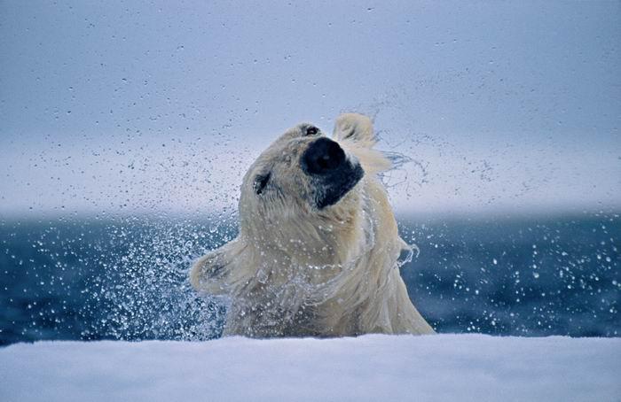 Пол Никлен / Paul Nicklen - замечательный полярный фотограф