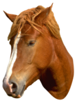 Лошадь