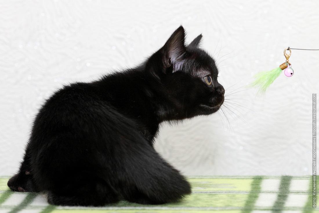 бомбейский котенок питомник в Москве