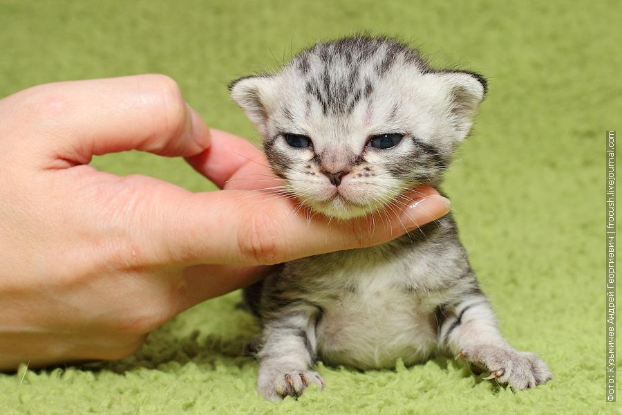 продажа Бомбеи нетрадиционных окрасов котята в Москве