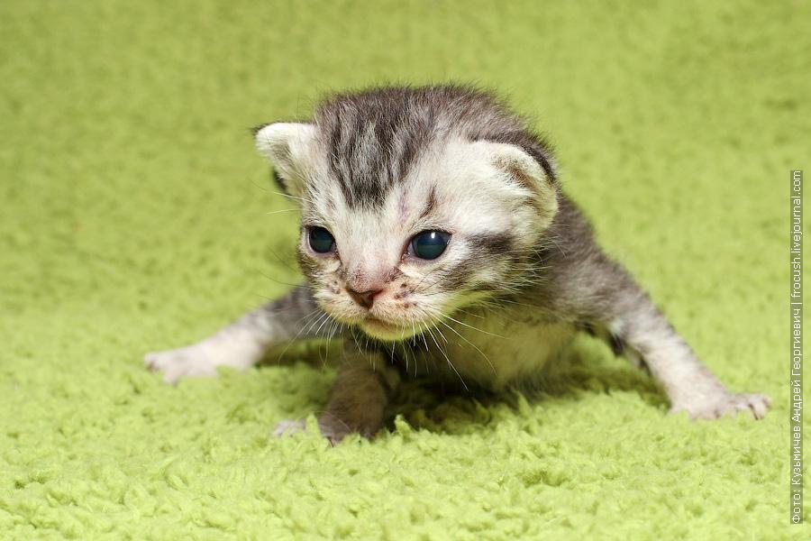 котята Бомбеи нетрадиционных окрасов из питомника