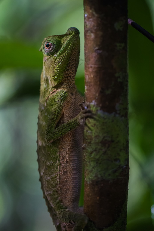 Шишконосая агама_Lyriocephalus scutatus_Hump-nosed Lizard_Hump Snout Lizard _Lyreshead Lizard_In Sinhalese language_Kandukara Bodilima_endemic to Sri Lanka_4_новый размер.jpg